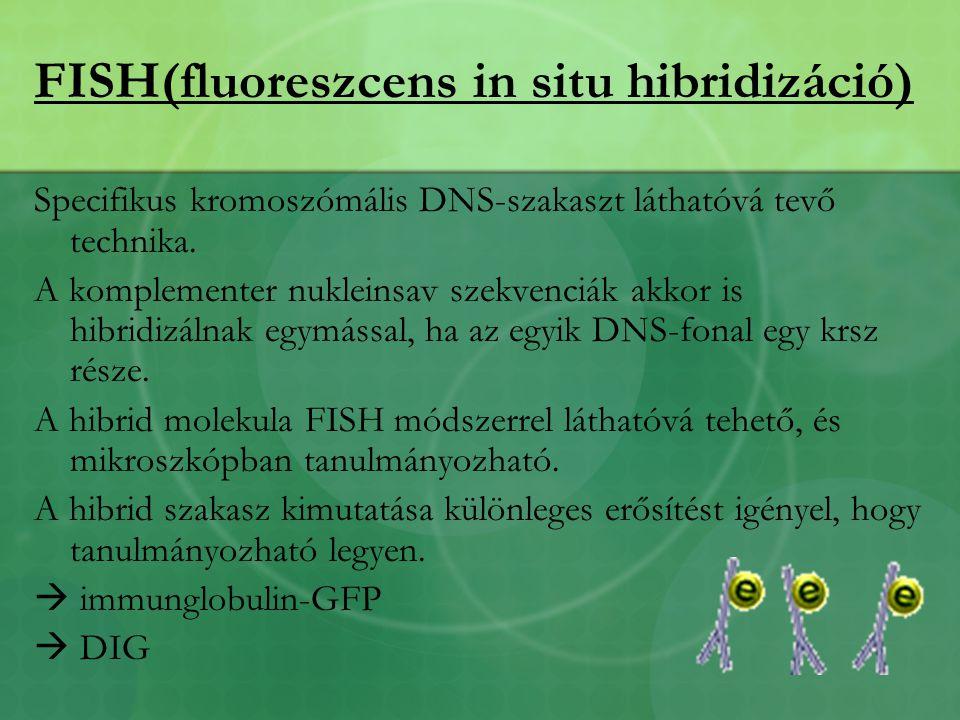 FISH(fluoreszcens in situ hibridizáció) Specifikus kromoszómális DNS-szakaszt láthatóvá tevő technika.