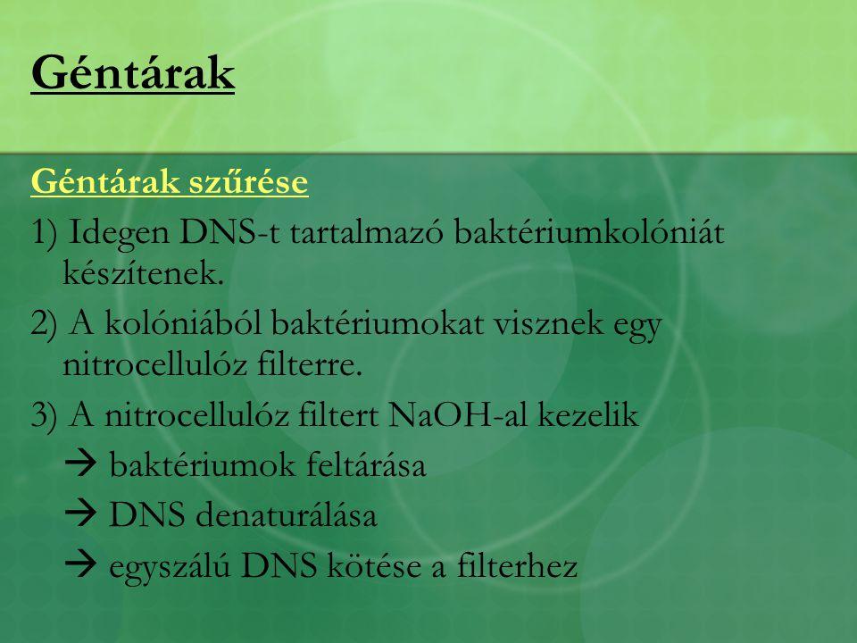 Géntárak Géntárak szűrése 1) Idegen DNS-t tartalmazó baktériumkolóniát készítenek.