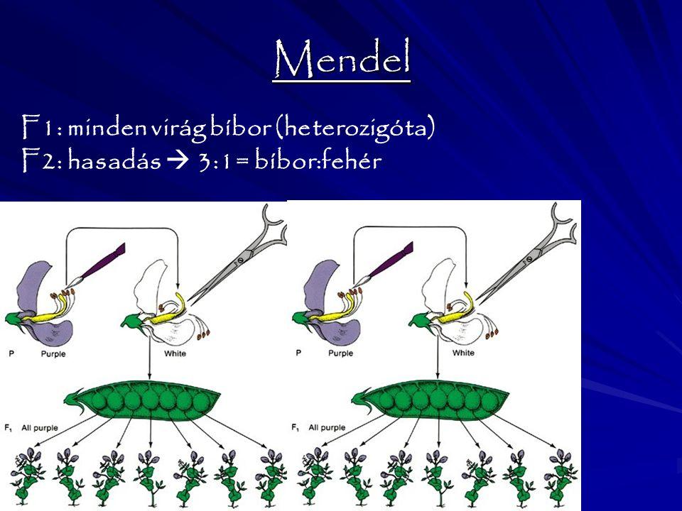 Mendel F1: minden virág bíbor (heterozigóta) F2: hasadás  3:1= bíbor:fehér