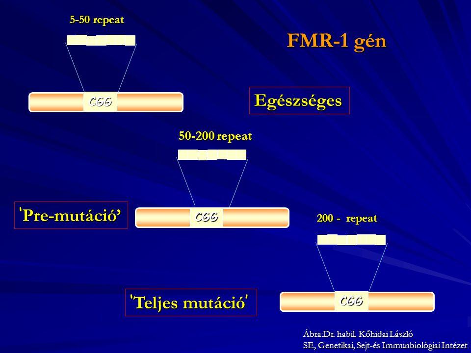CGG CGG 5-50 repeat CGG 50-200 repeat 200 - repeat Egészséges ' Pre-mutáció' ' Teljes mutáció ' FMR-1 gén Ábra:Dr. habil. Kőhidai László SE, Genetikai