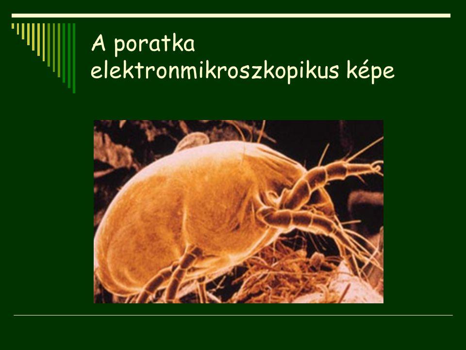 A poratka elektronmikroszkopikus képe