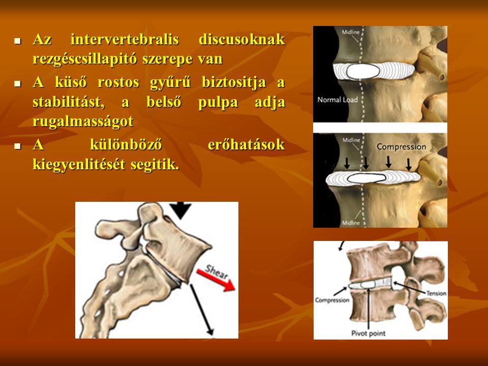 Az intervertebralis discusoknak rezgéscsillapitó szerepe van Az intervertebralis discusoknak rezgéscsillapitó szerepe van A küső rostos gyűrű biztositja a stabilitást, a belső pulpa adja rugalmasságot A küső rostos gyűrű biztositja a stabilitást, a belső pulpa adja rugalmasságot A különböző erőhatások kiegyenlitését segitik.