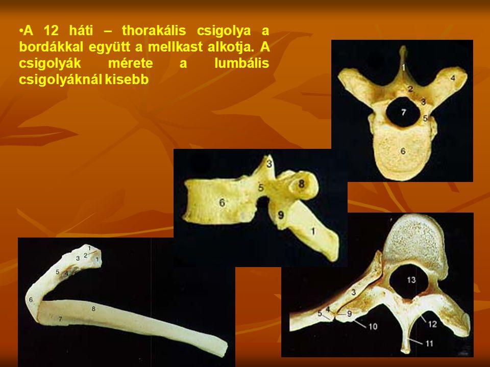 A 12 háti – thorakális csigolya a bordákkal együtt a mellkast alkotja. A csigolyák mérete a lumbális csigolyáknál kisebb