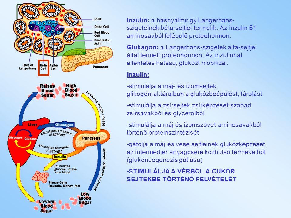 Inzulin: a hasnyálmirigy Langerhans- szigeteinek béta-sejtjei termelik. Az inzulin 51 aminosavból felépülő proteohormon. Glukagon: a Langerhans-sziget