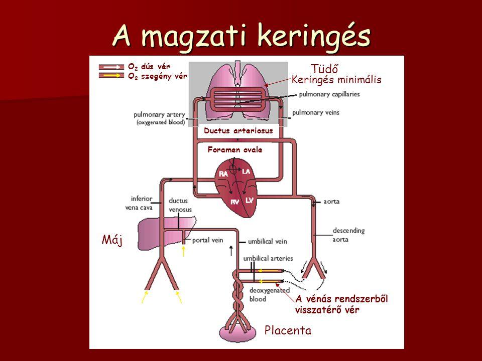 A magzati keringés O 2 dús vér O 2 szegény vér Keringés minimális A vénás rendszerből visszatérő vér Máj Tüdő Placenta Ductus arteriosus Foramen ovale