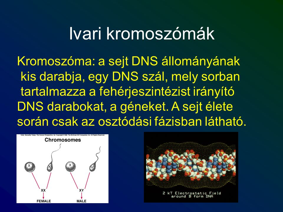 Ivari kromoszómák Kromoszóma: a sejt DNS állományának kis darabja, egy DNS szál, mely sorban tartalmazza a fehérjeszintézist irányító DNS darabokat, a