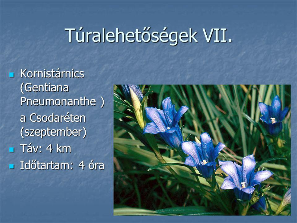 Túralehetőségek VII. Kornistárnics (Gentiana Pneumonanthe ) Kornistárnics (Gentiana Pneumonanthe ) a Csodaréten (szeptember) Táv: 4 km Táv: 4 km Időta