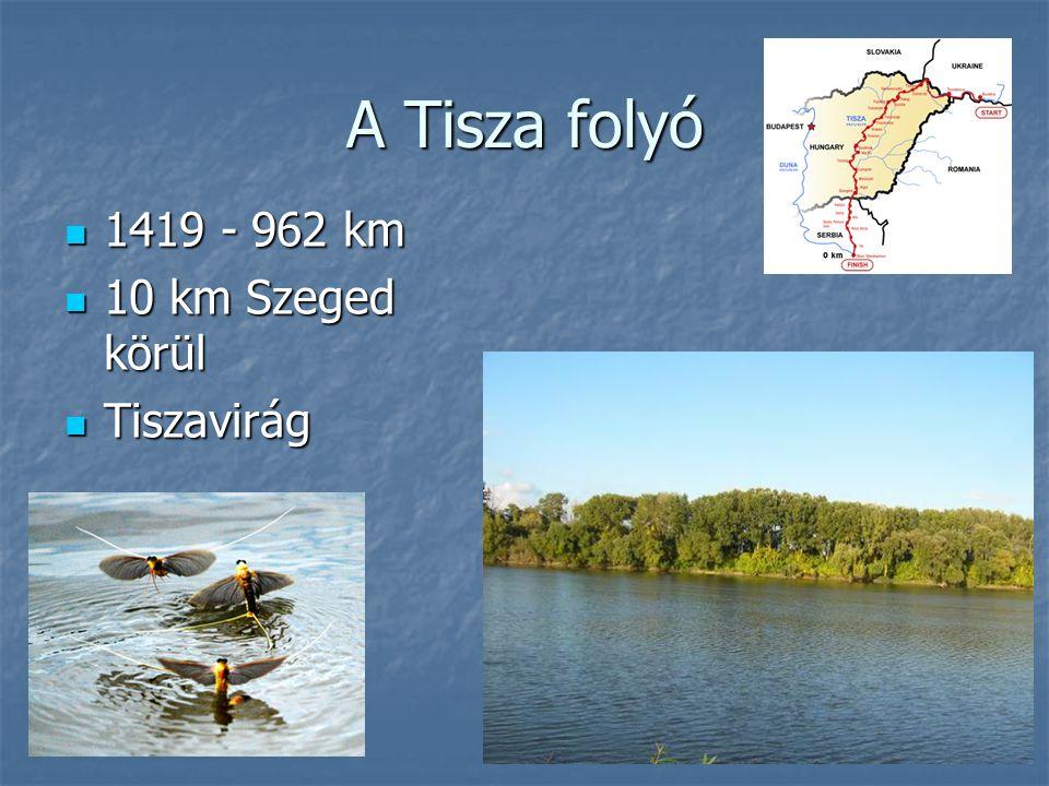 A Tisza folyó 1419 - 962 km 1419 - 962 km 10 km Szeged körül 10 km Szeged körül Tiszavirág Tiszavirág
