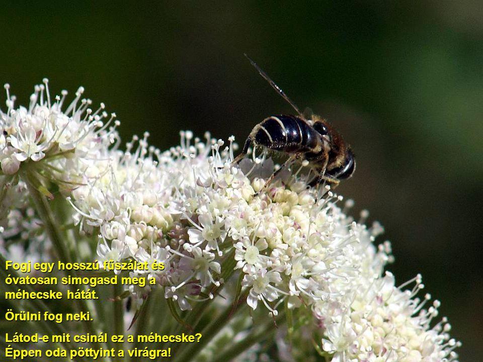 A virágnak tetején szorgos méhecske gyűjti a mézet. Tudod, hogy a méhecskét meg lehet simogatni