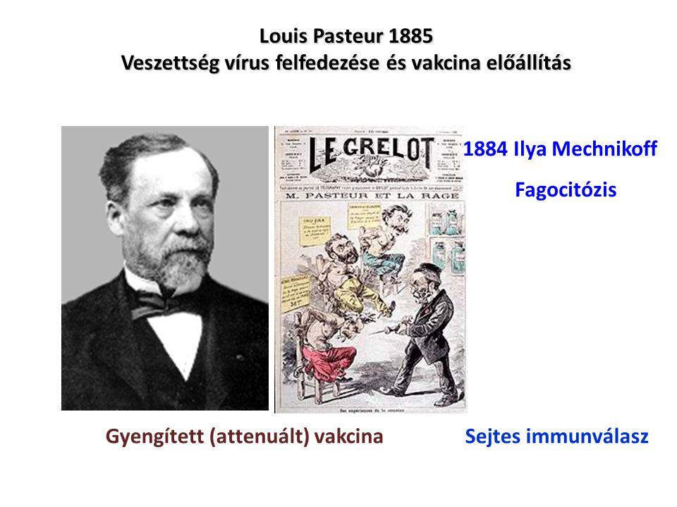 Louis Pasteur 1885 Veszettség vírus felfedezése és vakcina előállítás a a a Gyengített (attenuált) vakcina 1884 Ilya Mechnikoff Fagocitózis Sejtes imm