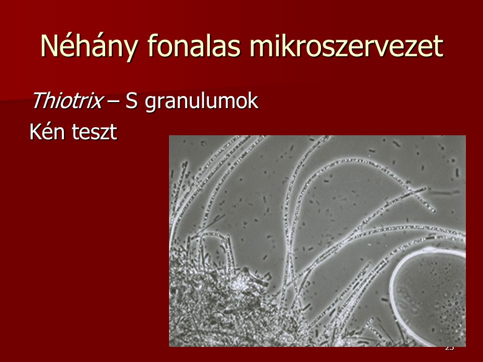 23 Néhány fonalas mikroszervezet Thiotrix – S granulumok Kén teszt