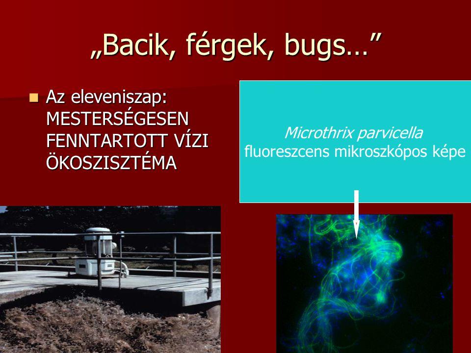 """5 Valójában több tucat különböző """"képességű és morfológiájú fajcsoport alkotja az eleveniszapot Fluroeszcens jelölésű Nitrobacter sejtcsoport (pehely)"""