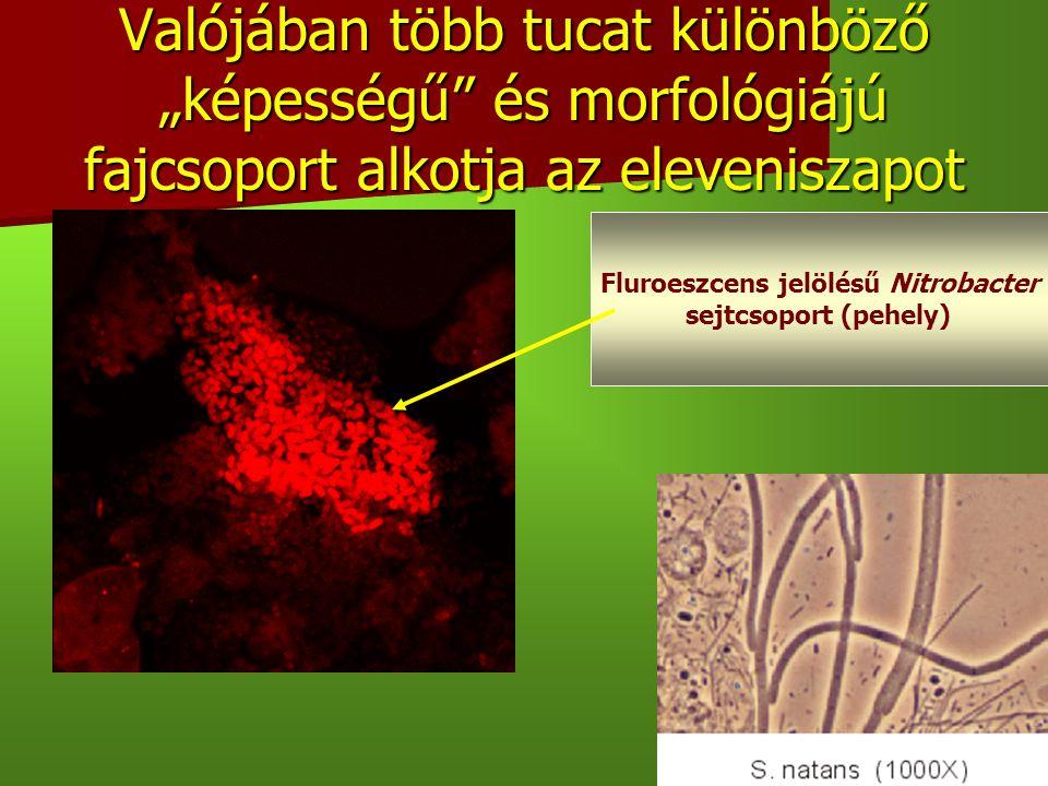 """5 Valójában több tucat különböző """"képességű"""" és morfológiájú fajcsoport alkotja az eleveniszapot Fluroeszcens jelölésű Nitrobacter sejtcsoport (pehely"""