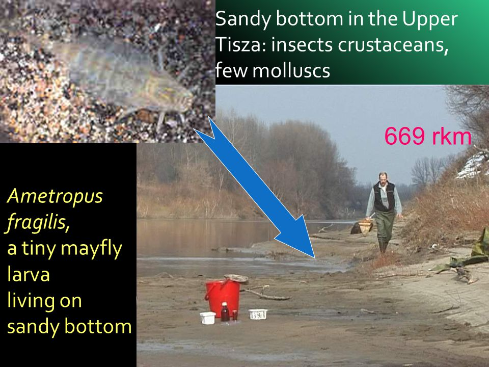Sandy bottom in the Upper Tisza: insects crustaceans, few molluscs Ametropus fragilis, a tiny mayfly larva living on sandy bottom 669 rkm