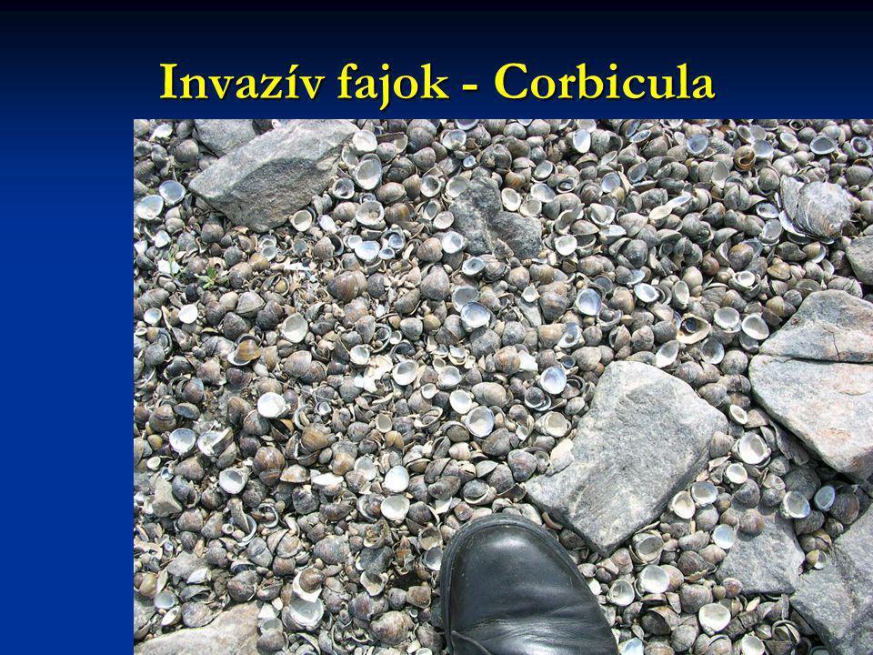 Invazív fajok - Corbicula