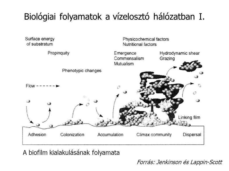 Biológiai folyamatok a vízelosztó hálózatban I. Forrás: Jenkinson és Lappin-Scott A biofilm kialakulásának folyamata
