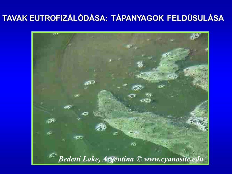 Bedetti Lake, Argentina © www.cyanosite.edu TAVAK EUTROFIZÁLÓDÁSA: TÁPANYAGOK FELDÚSULÁSA