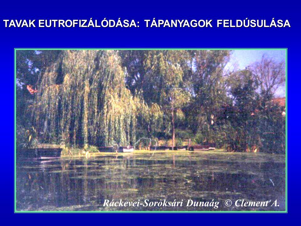 Ráckevei-Soroksári Dunaág © Clement A. TAVAK EUTROFIZÁLÓDÁSA: TÁPANYAGOK FELDÚSULÁSA