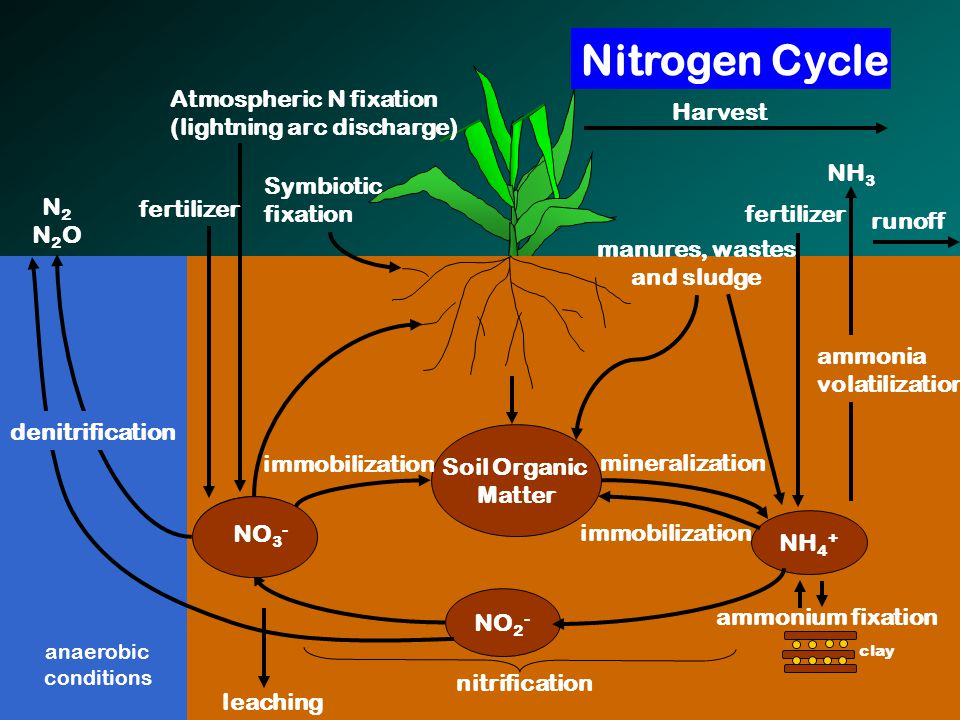 NO 3 - NH 4 + Soil Organic Matter NO 2 - manures, wastes and sludge ammonium fixation clay mineralization immobilization nitrification immobilization