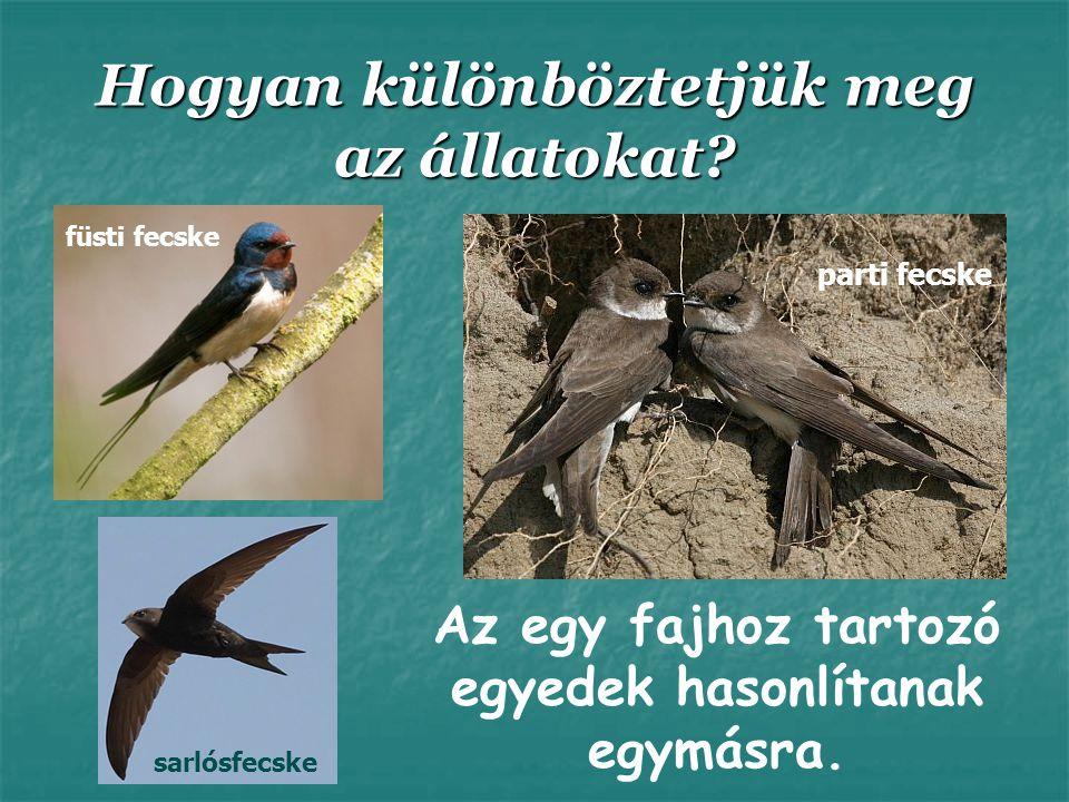 Hogyan különböztetjük meg az állatokat? Az egy fajhoz tartozó egyedek hasonlítanak egymásra. füsti fecske sarlósfecske parti fecske