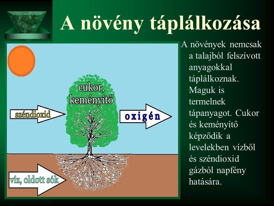 A növény táplálkozása A növények nemcsak a talajból felszívott anyagokkal táplálkoznak. Maguk is termelnek tápanyagot. Cukor és keményítő képződik a l