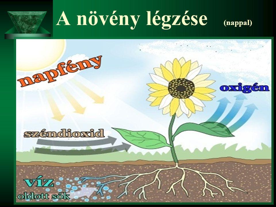 A növény légzése (nappal)
