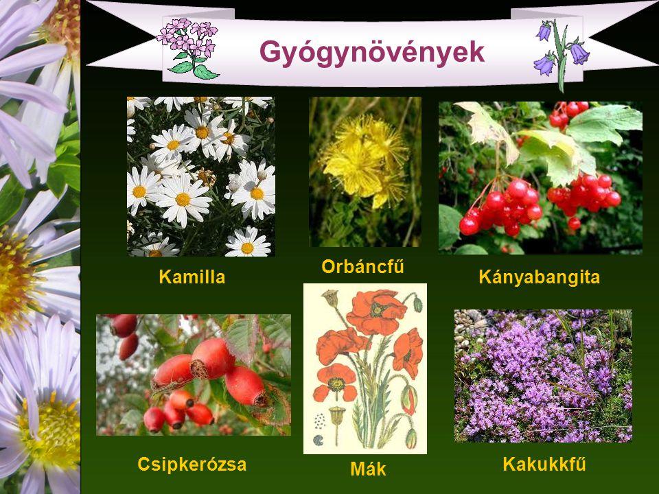 Gyógynövények Csipkerózsa Kamilla Orbáncfű Kányabangita Kakukkfű Mák