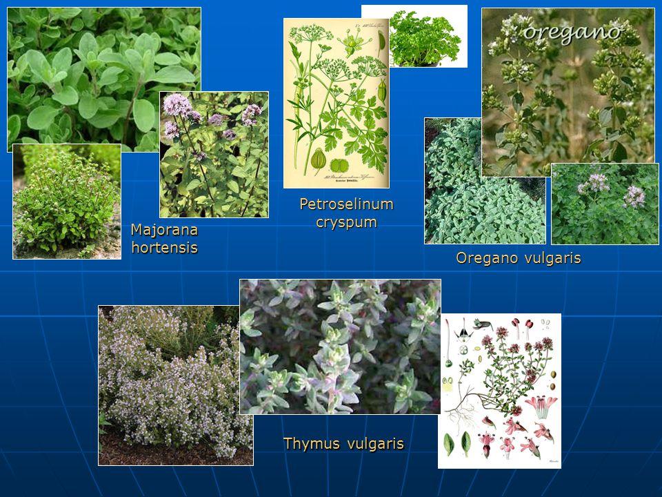Majorana hortensis Petroselinum cryspum Oregano vulgaris Thymus vulgaris