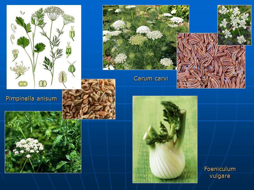 Pimpinella anisum Carum carvi Foeniculum vulgare