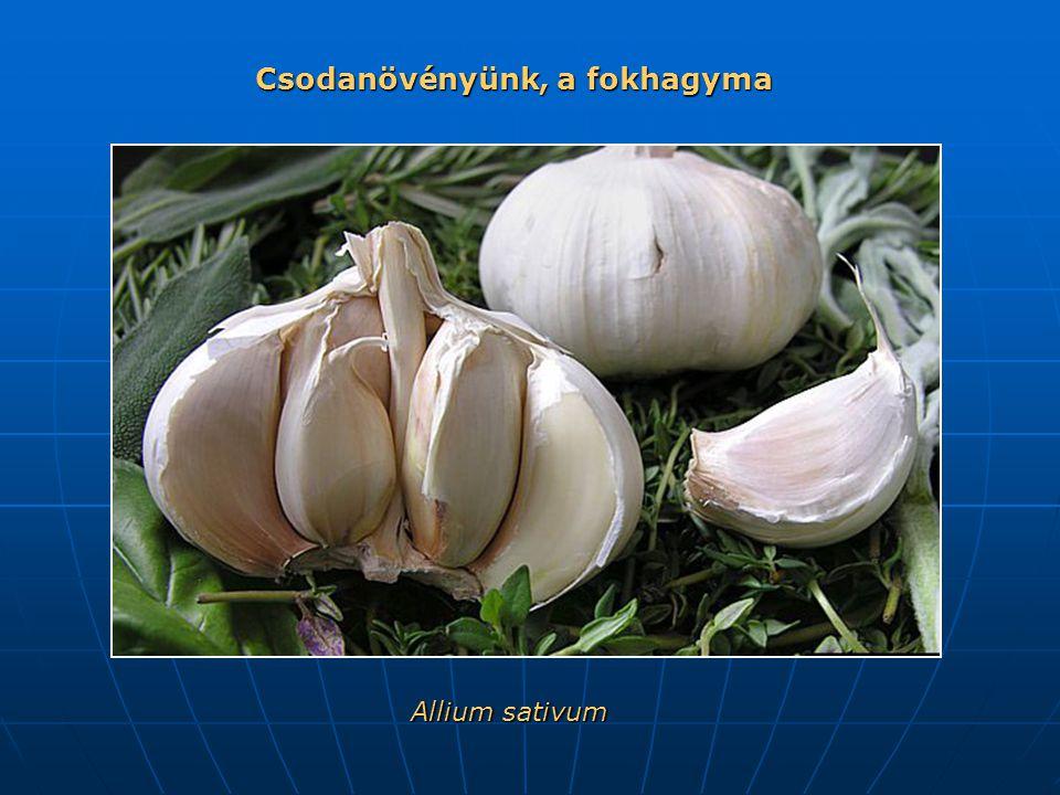 Allium sativum Csodanövényünk, a fokhagyma