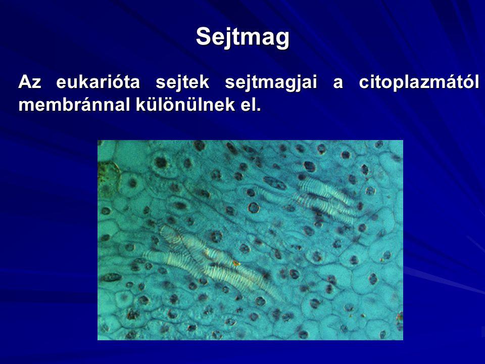 Sejtmag Az eukarióta sejtek sejtmagjai a citoplazmától membránnal különülnek el.