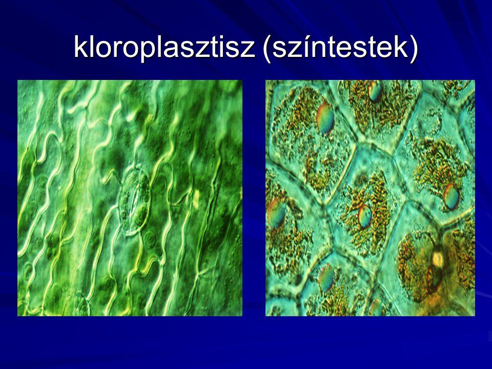 kloroplasztisz (színtestek)