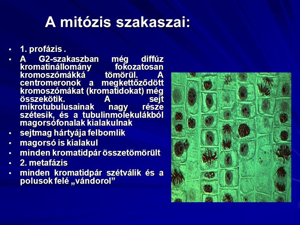 A mitózis szakaszai: 1. profázis. 1. profázis. A G2-szakaszban még diffúz kromatinállomány fokozatosan kromoszómákká tömörül. A centromeronok a megket