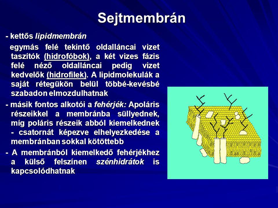 Sejtmembrán - kettős lipidmembrán egymás felé tekintő oldalláncai vizet taszítók (hidrofóbok), a két vizes fázis felé néző oldalláncai pedig vizet kedvelők (hidrofilek).