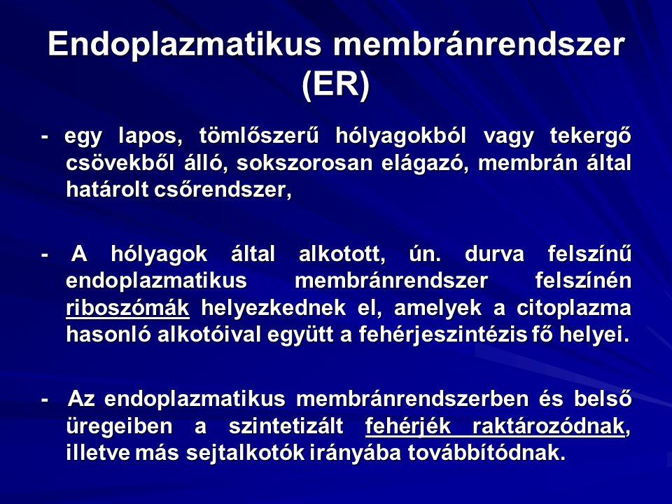 Endoplazmatikus membránrendszer (ER) - egy lapos, tömlőszerű hólyagokból vagy tekergő csövekből álló, sokszorosan elágazó, membrán által határolt csőr