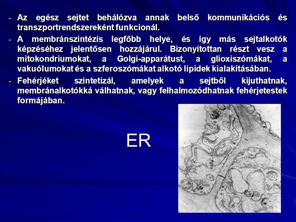 ER - Az egész sejtet behálózva annak belső kommunikációs és transzportrendszereként funkcionál. - A membránszintézis legfőbb helye, és így más sejtalk