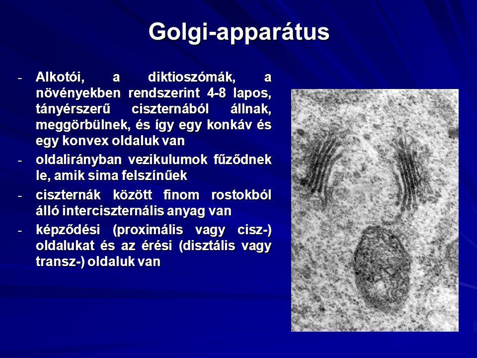 Golgi-apparátus - Alkotói, a diktioszómák, a növényekben rendszerint 4-8 lapos, tányérszerű ciszternából állnak, meggörbülnek, és így egy konkáv és egy konvex oldaluk van - oldalirányban vezikulumok fűződnek le, amik sima felszínűek - ciszternák között finom rostokból álló interciszternális anyag van - képződési (proximális vagy cisz-) oldalukat és az érési (disztális vagy transz-) oldaluk van