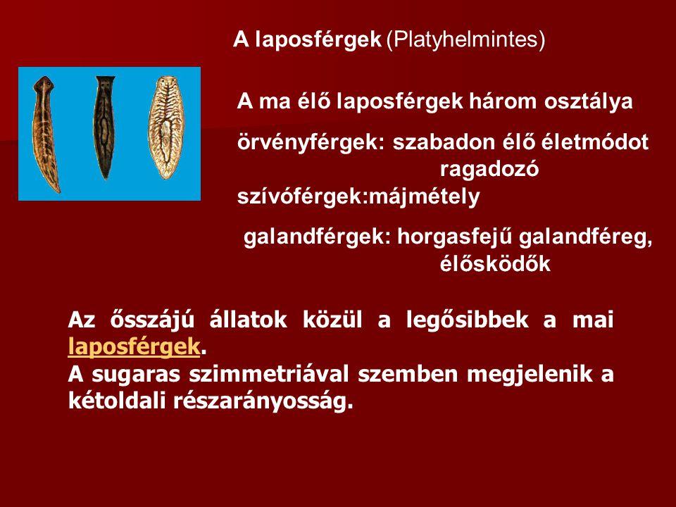 A laposférgek (Platyhelmintes) A ma élő laposférgek három osztálya örvényférgek: szabadon élő életmódot ragadozó szívóférgek:májmétely galandférgek: h