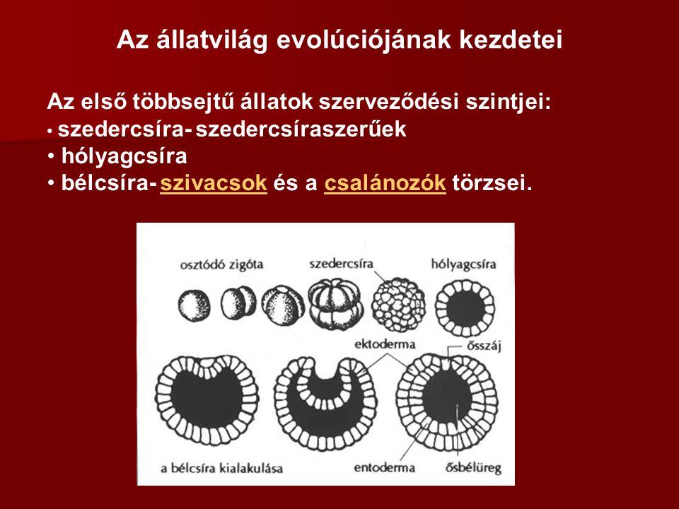 Az állatvilág evolúciójának kezdetei Az első többsejtű állatok szerveződési szintjei: szedercsíra- szedercsíraszerűek hólyagcsíra bélcsíra- szivacsok