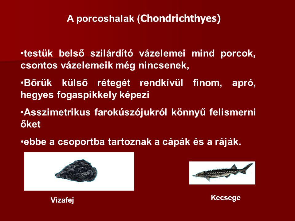 A porcoshalak ( Chondrichthyes) testük belső szilárdító vázelemei mind porcok, csontos vázelemeik még nincsenek, Bőrük külső rétegét rendkívül finom,