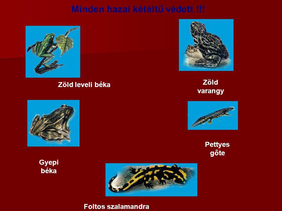 Minden hazai kétéltű védett !!! Zöld varangy Zöld leveli béka Pettyes gőte Foltos szalamandra Gyepi béka