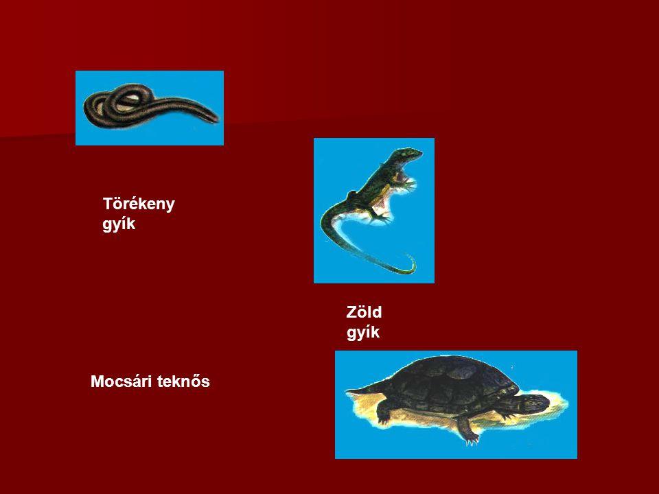 Törékeny gyík Zöld gyík Mocsári teknős