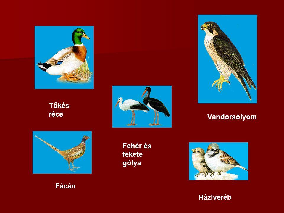 Háziveréb Fácán Tőkés réce Fehér és fekete gólya Vándorsólyom
