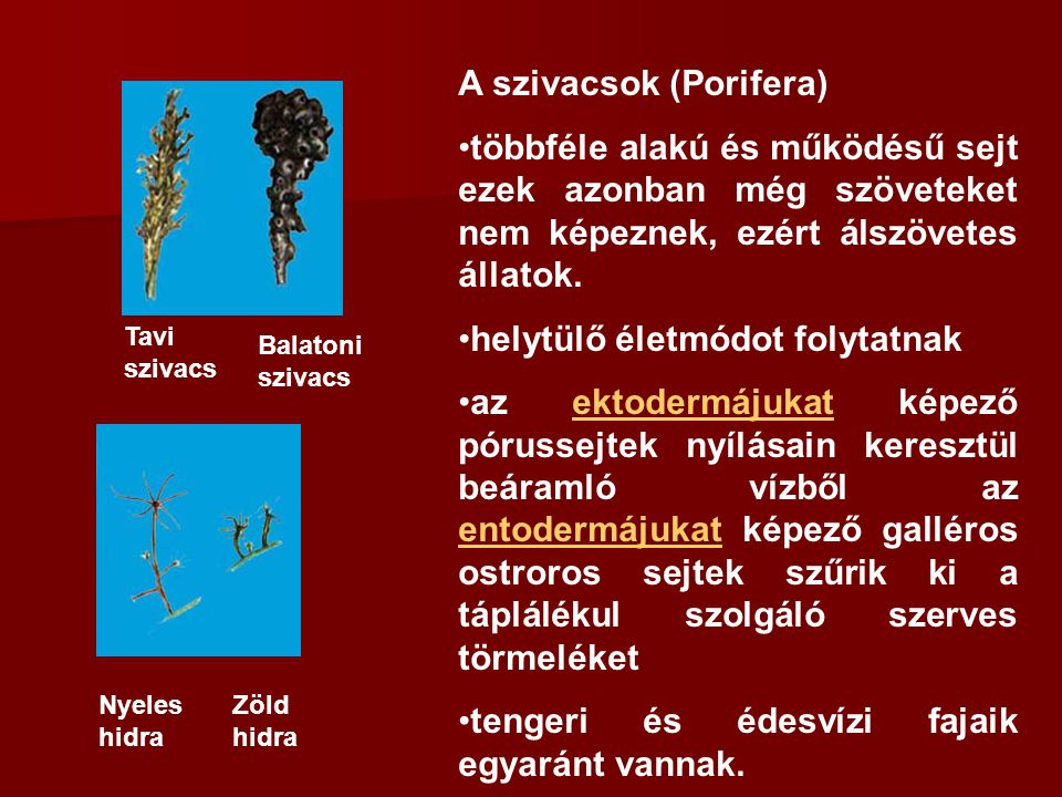 A szivacsok (Porifera) többféle alakú és működésű sejt ezek azonban még szöveteket nem képeznek, ezért álszövetes állatok. helytülő életmódot folytatn