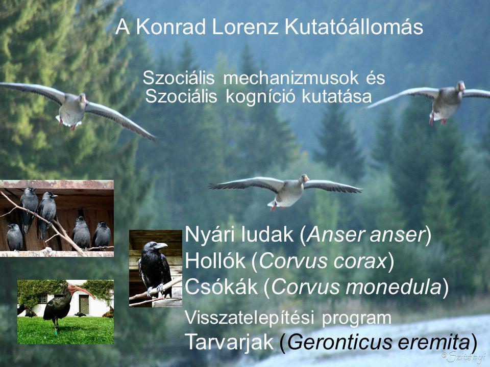 A Konrad Lorenz Kutatóállomás Szociális mechanizmusok és Szociális kogníció kutatása Visszatelepítési program Tarvarjak (Geronticus eremita) Nyári ludak (Anser anser) Hollók (Corvus corax) Csókák (Corvus monedula)