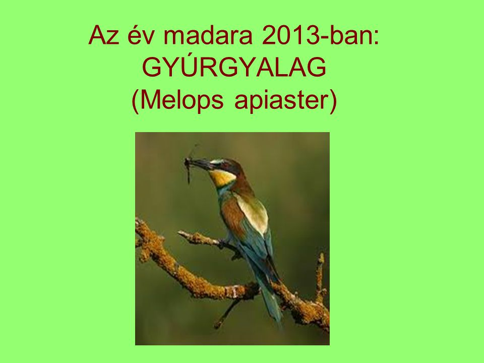 Az év madara 2013-ban: GYÚRGYALAG (Melops apiaster)