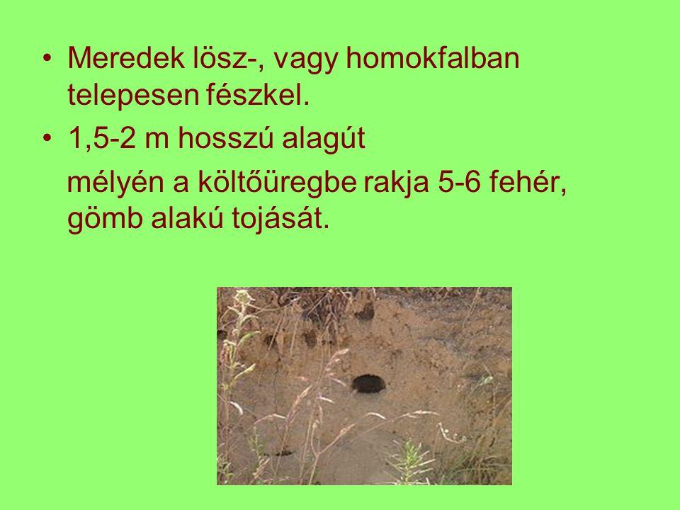 Meredek lösz-, vagy homokfalban telepesen fészkel. 1,5-2 m hosszú alagút mélyén a költőüregbe rakja 5-6 fehér, gömb alakú tojását.