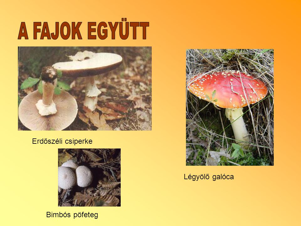 Erdőszéli csiperke Bimbós pöfeteg Légyölő galóca