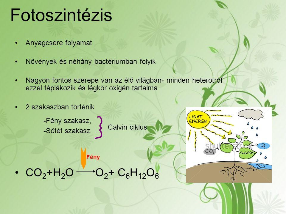 Fotoszintézis Anyagcsere folyamat Növények és néhány bactériumban folyik Nagyon fontos szerepe van az élő világban- minden heterotróf ezzel táplákozik