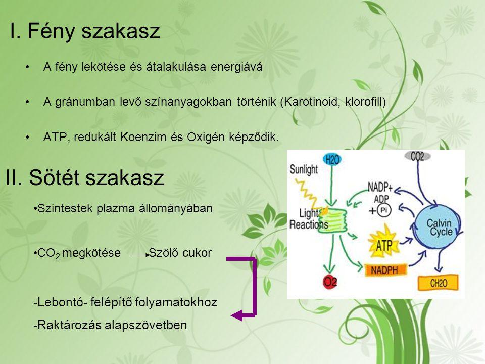A fény lekötése és átalakulása energiává A gránumban levő színanyagokban történik (Karotinoid, klorofill) ATP, redukált Koenzim és Oxigén képződik. I.